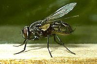 1H05-014z  House Fly  adult - Musca domestica