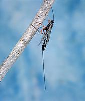 Ichneumon Fly - Rhyssa persuasoria