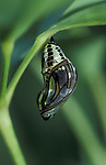 Tilhena harmonia Butterfly, pupae or chyrsalis, Ecuador, South America, silver gold metallic colour