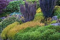 Berberis thunbergii 'Helmond Pillar' upright shrub with purple foliage above Calluna vulgaris 'Firefly', (Scottish Heather) in colorful foliage shrub border; Seattle Washington, Stacie Crooks design