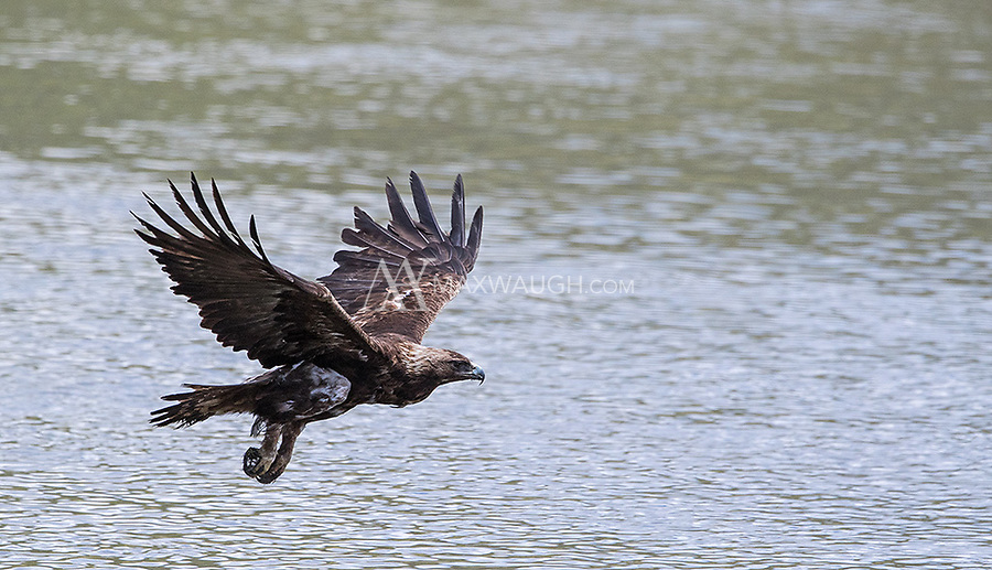 A Golden Eagle flies low over the Yellowstone River after feeding on a duck.