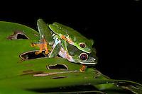 A mating pair of Red-eyed Tree Frogs (Agalychnis callidryas) in amplexus, Bocas del Toro, Panama