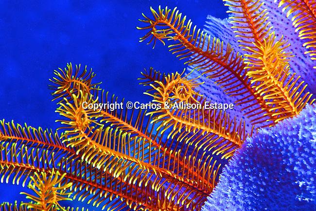 Davidaster rubiginosa, Golden crinoid, Dominica