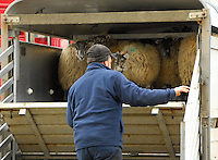 John Phifer of Millom, Cumbria unloading sheep at Ulverston Auction Mart.
