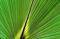 A Close up detail of a Saw Palmetto plant in South Carolina.