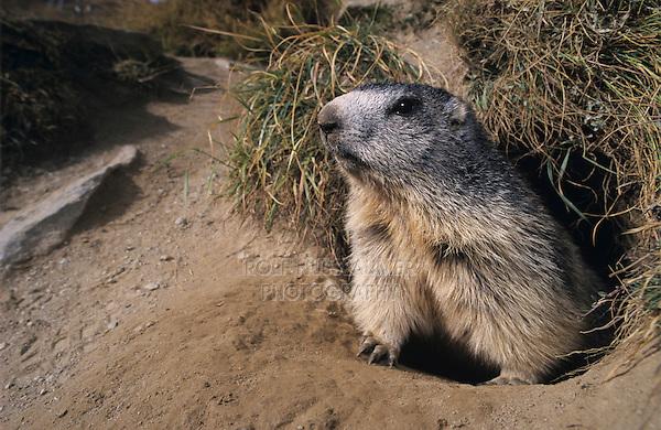 Alpine Marmot, Marmota marmota, adult looking out of burrow, Saas Fee, Switzerland, Europe