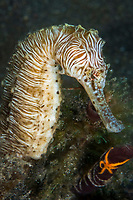flat-faced seahorse, low-crowned seahorse, or three-spot seahorse, Hippocampus trimaculatus, zebra phase, Lembeh Strait, Sulawesi, Indonesia