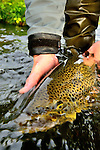 Iceland 2013 handheld brown trout