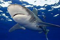 oceanic whitetip shark, Carcharhinus longimanus, with pilot fish, Naucrates ductor, Cat Island, Bahamas, Atlantic Ocean