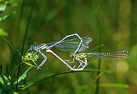 Gemeine Federlibelle, Blaue Federlibelle, Paarungsrad, Kopulation, Kopula, Paarung, Männchen und Weibchen, Platycnemis pennipes, white-legged damselfly