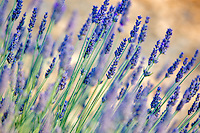 Close up of lavender plant. Washington.