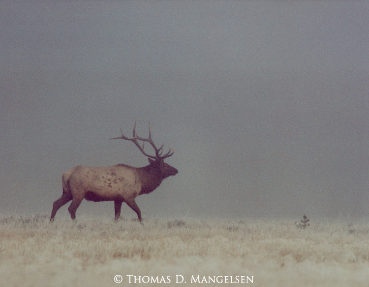 Portrait of a bull elk in autumn fog in Yellowstone National Park, Wyoming.