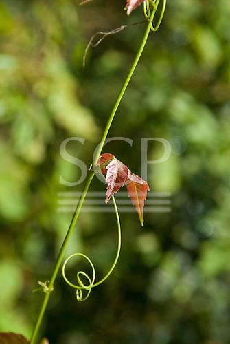 Fazenda Cagibi, Parana State, Brazil. Leaf and tendril on a creeper in Atlantic rain forest.