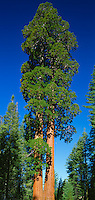 Kings Canyon National Park, CA:  Giant Sequoia ( Sequoiadendron giganteum) known as the Twin Sisters in the General Grant Grove