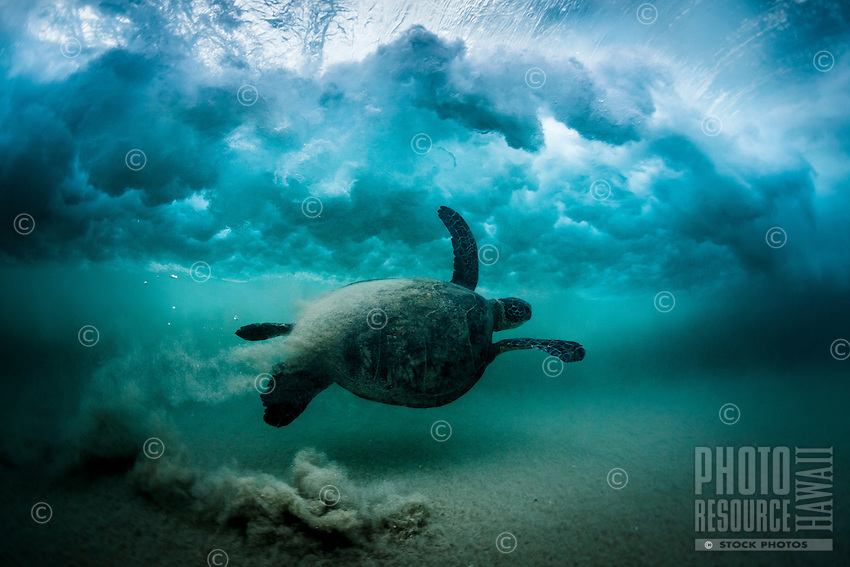 A Hawaiian green sea turtle (or honu) swims under the sandy impact zone at Mauna Kea Beach, South Kohala, Big Island.