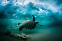 A Hawaiian green sea turtle (or honu) swims under the sandy impact zone at Mauna Kea Beach, South Kohala, Big Island.