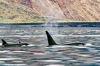 killer whale or orca, Orcinus orca, Isabela Island, Galapagos Islands, Ecuador, Pacific Ocean