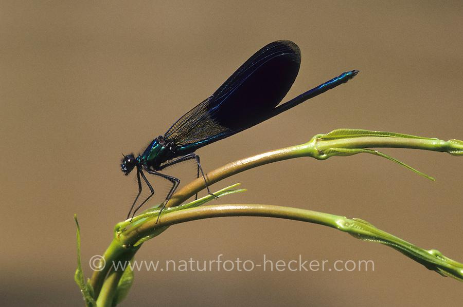Gebänderte Prachtlibelle, Pracht-Libelle, Männchen, Calopteryx splendens, Agrion splendens, banded blackwings, banded agrion, male