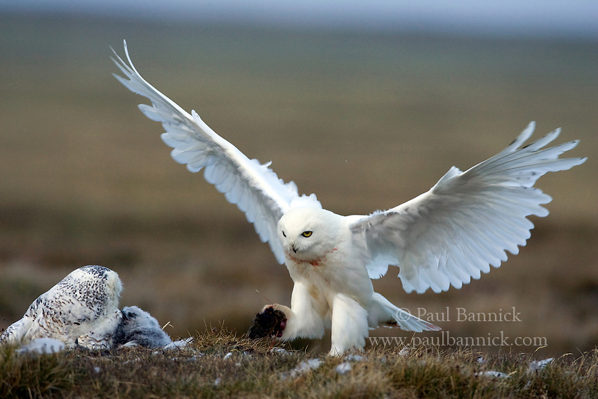 A male Snowy Owl, Bubo scandiacus, delivers a lemming to the female at their nest on Alaska's North Slope.