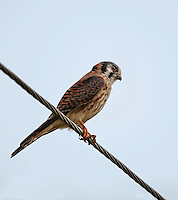Female American Kestral perched on a wire in Florida