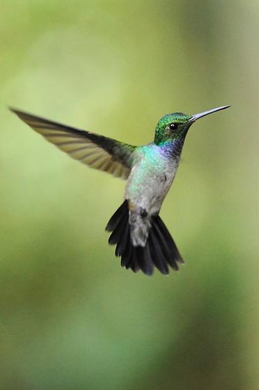 """""""Volando entre ríos, selvas y montañas.<br /> <br /> Entre el azahar y el rocío de tus mañanas.<br /> <br /> Nuestros sueños desprendidos de las nubes en aquellas noches de primavera"""".<br /> <br /> Amalia / colibríes de Panamá.<br /> <br /> Amazalia Pechiazul.<br /> <br /> Blue-chested Hummingbird.<br /> <br /> Amazalia amabilis.<br /> <br /> EDICIÓN LIMITADA / LIMITED EDITION (25)"""