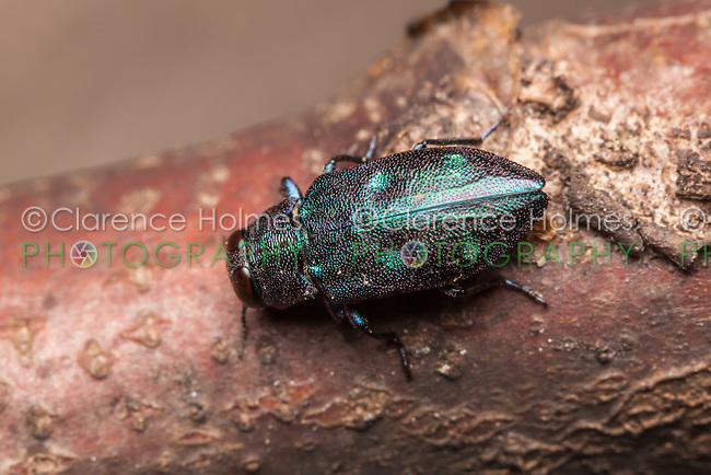 A Metallic Wood-boring Beetle (Chrysobothris azurea) explores a branch of a fallen oak tree.
