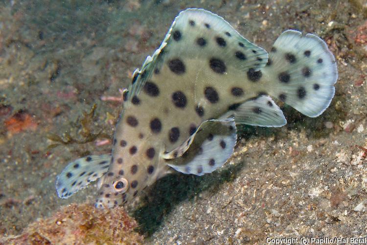 Barramundi.(Cromileptes altivelis).Lembeh Straits,Indonesia