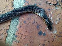 BOGOTA -COLOMBIA ,  Culebra de jardin muerta./  Garden snake . Photo: VizzorImage / Felipe Caicedo / Staff