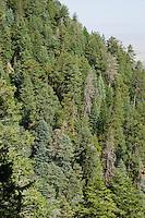 Mixed conifer nesting habitat of the Short-tailed Hawk (Buteo brachyurus); Arizona