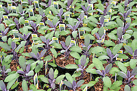 Herb, Purple Sage, Salvia, Salvia officinalis