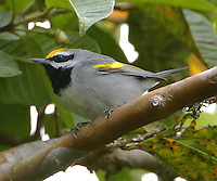 Adult male golden-winged warbler