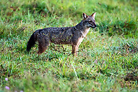 Golden jackal (Canis aureus) - or Black - backed Jackal is a wolf-like canid that is native to Southeast Europe, Southwest Asia, South Asia, and regions of Southeast Asia.