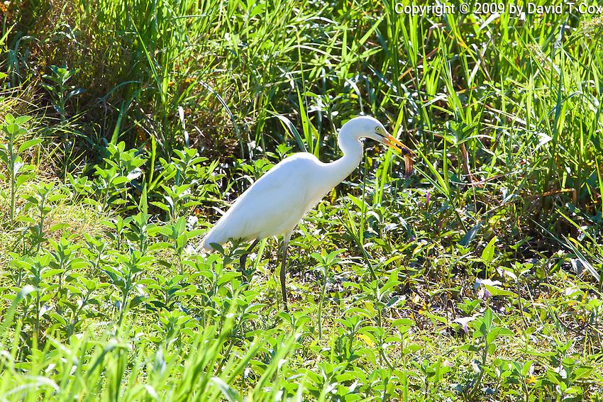 Intermediate Egret, Fogg Dam, NT, Australia