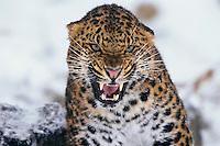 Amur leopard or Korean Leopard (Panthera pardus orientalis) snarling, Endangered Species.  Winter.