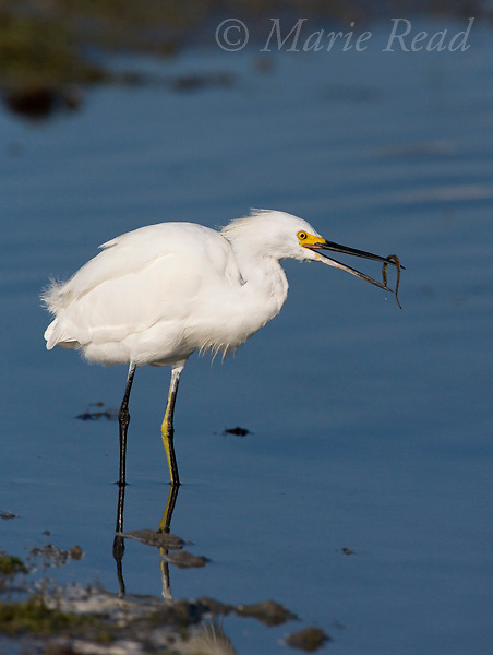 Snowy Egret (Egretta thula) with food (pipefish), Florida, USA<br /> (Fish ID by Dr. J.B. Heiser, Cornell University)