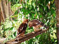 Stock photo: Pair of eagle sitting on swing hanging on tree in Kerala India.