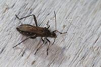 Rotrückiger Irrwisch, Krummfühlerwanze, Alydus calcaratus, Broad-Headed Bug, Broad Headed Bug, Krummfühlerwanzen, Alydidae, broad-headed bugs
