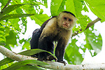 White-headed Capuchin (Cebus capucinus) male in tree, Pipeline Road, Gamboa, Panama