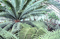PLANTS IN GREENHOUSE<br /> Palm tree