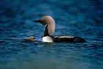 An Arctic Loon swims with its young staying nearby in Yukon Territory, Canada.