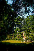 A giraffe (Giraffa camelopardalis) stands among the trees at The North Carolina Zoo, located in the town of Asheboro, North Carolina. The North Carolina Zoo, located about 70 miles west of Raleigh and about    90 miles from Charlotte, is one of the largest natural habitat zoos in the United States that allows visitors to walk through its grounds. One of only two state-supported zoos in the country, the NC Zoo was the first American zoo to incorporate the natural habitat philosophy, which presents animals and plants together in exhibits that resemble the natural habits of these creatures in the wild. The North Carolina Zoological Park features animals from Africa and North America. The 1,500-acre  zoo is located atop Purgatory Mountain, which is part of the Uwharrie Mountains in central North Carolina.
