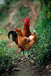 rooster an hen chickens on path above the Daning River, Lesser Three Gorges in rural China, Asia