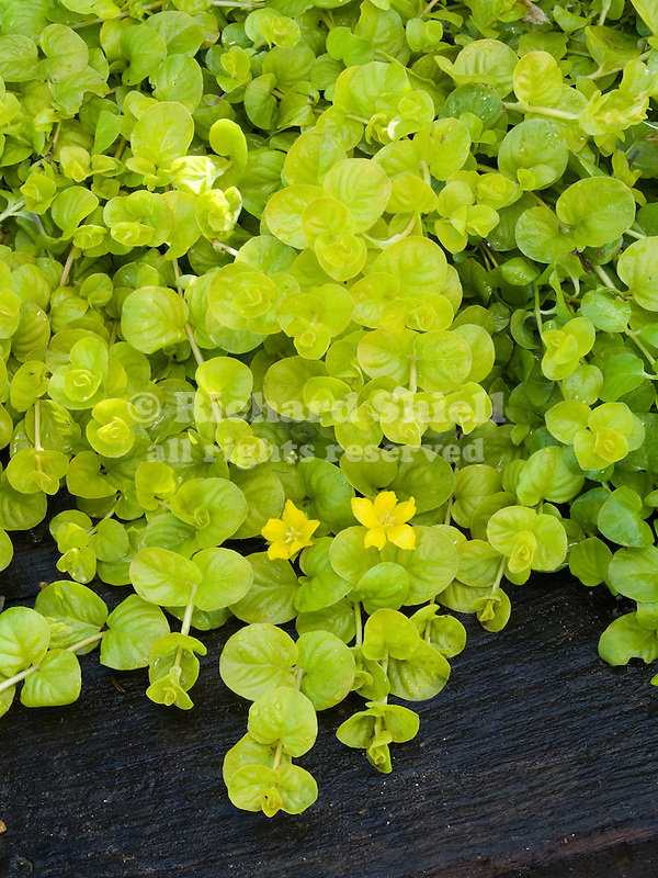 Goldilocks Moneywort, Lysimachia nummularia
