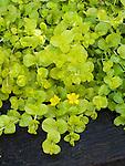 Goldilocks Moneywort, Lysimachia nummularia