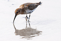 The Dunlin is one of the most common and best-known waders. At Revtangen on Jaeren, south west Norway.