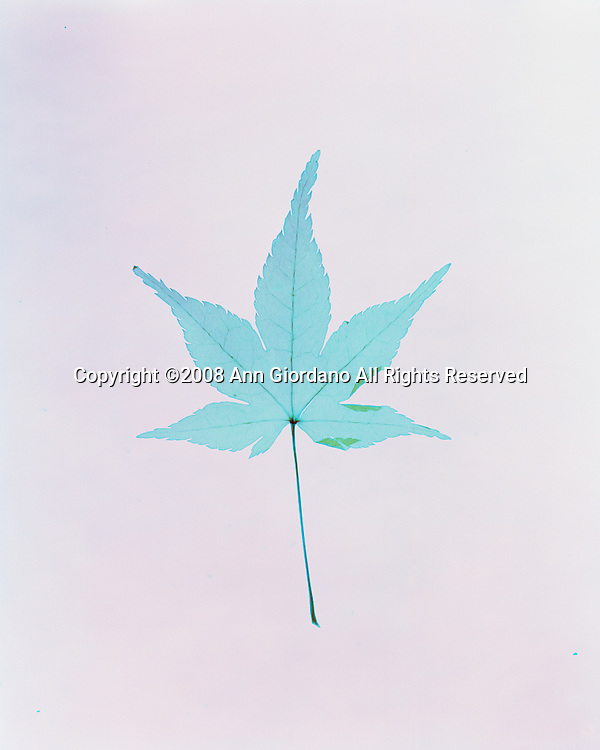 Contact print of Japanese Maple Leaf