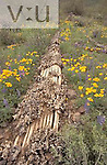 Fallen and decaying Saquaro Cactus (Carnegiea gigantea) on the Sonoran Desert surrounded by Mexican Gold Poppies (Eschscholtzia mexicana), lupines, and other annuals, Arizona, USA.