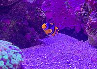 Clownfisch im Ozeanium im Vergnügungspark Zoomarine - 25.09.2019: Zoomarine Park, Guia, Albufeira an der Algarve