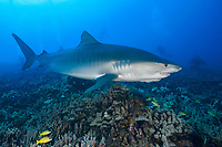 tiger shark, Galeocerdo cuvier, female, with a crooked jaw likely from fishing interaction and a remora or sharksucker attached to the lower jaw passes below a group of scuba divers, Honokohau, Kona Coast, Big Island, Hawaii, USA Pacific Ocean