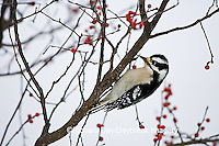01206-031.18 Downy Woodpecker (Picoides pubescens) female in Common Winterberry (Ilex verticillata) Marion Co. IL